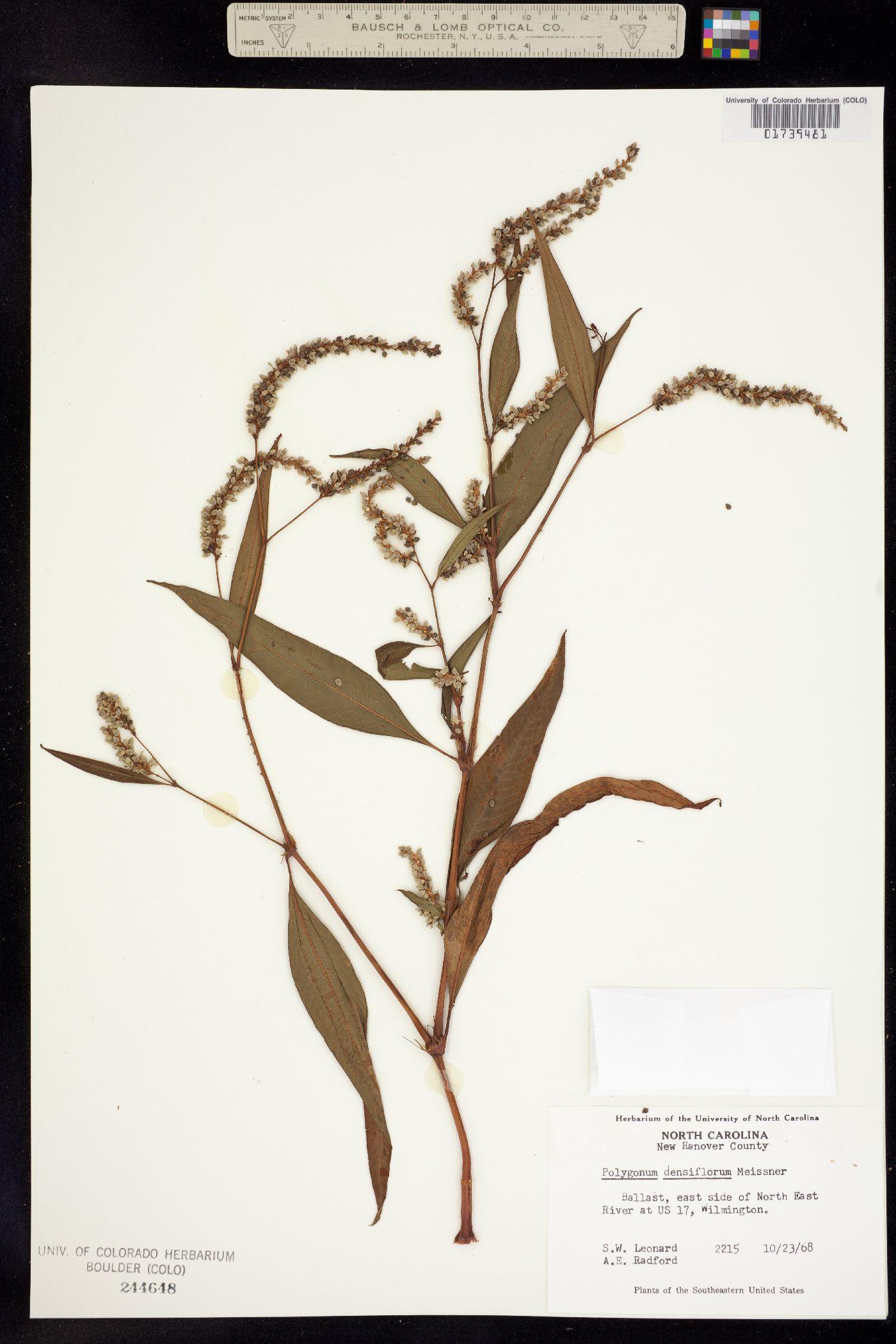 Persicaria glabra image