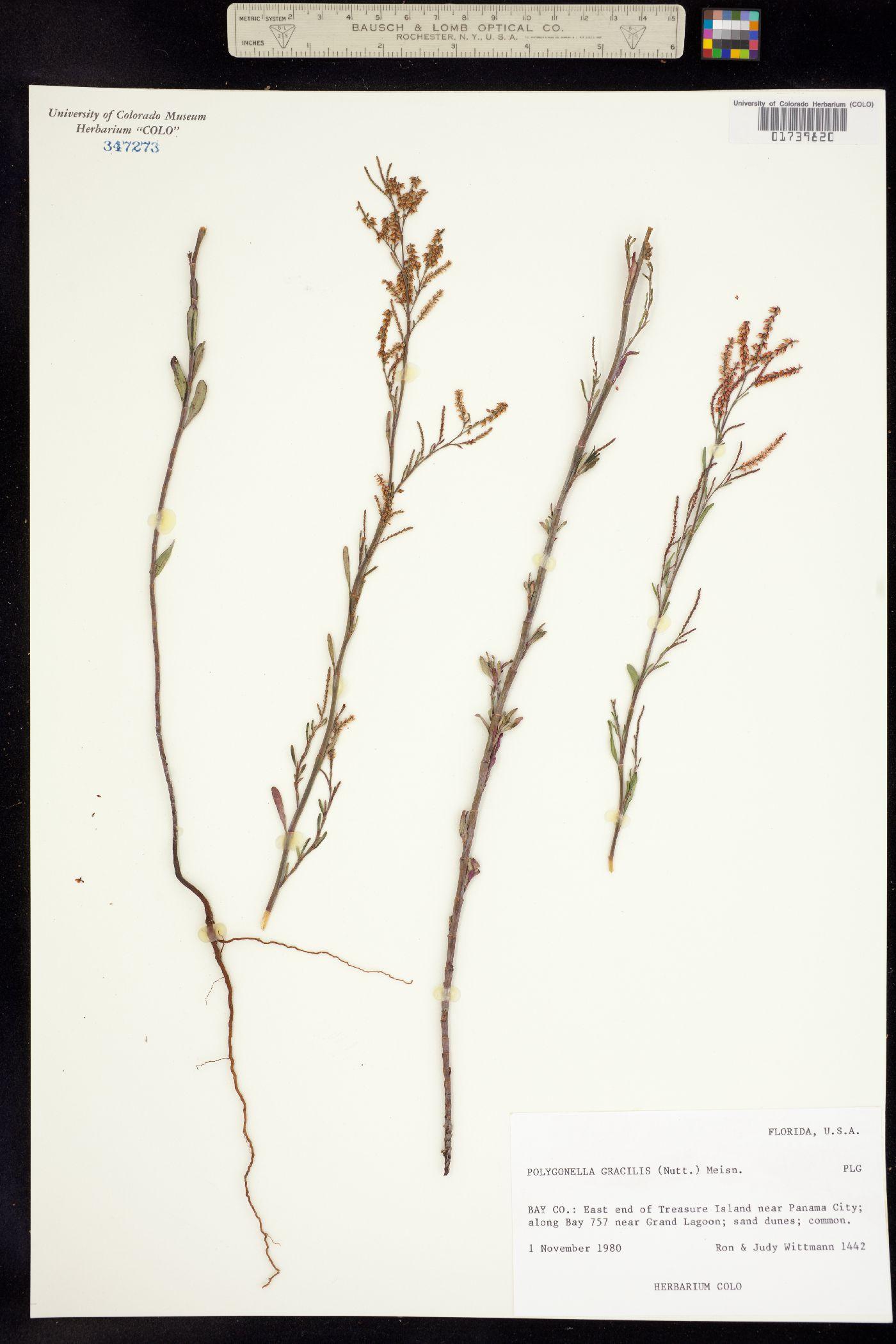 Polygonella gracilis image