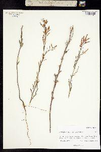 Image of Polygonella gracilis