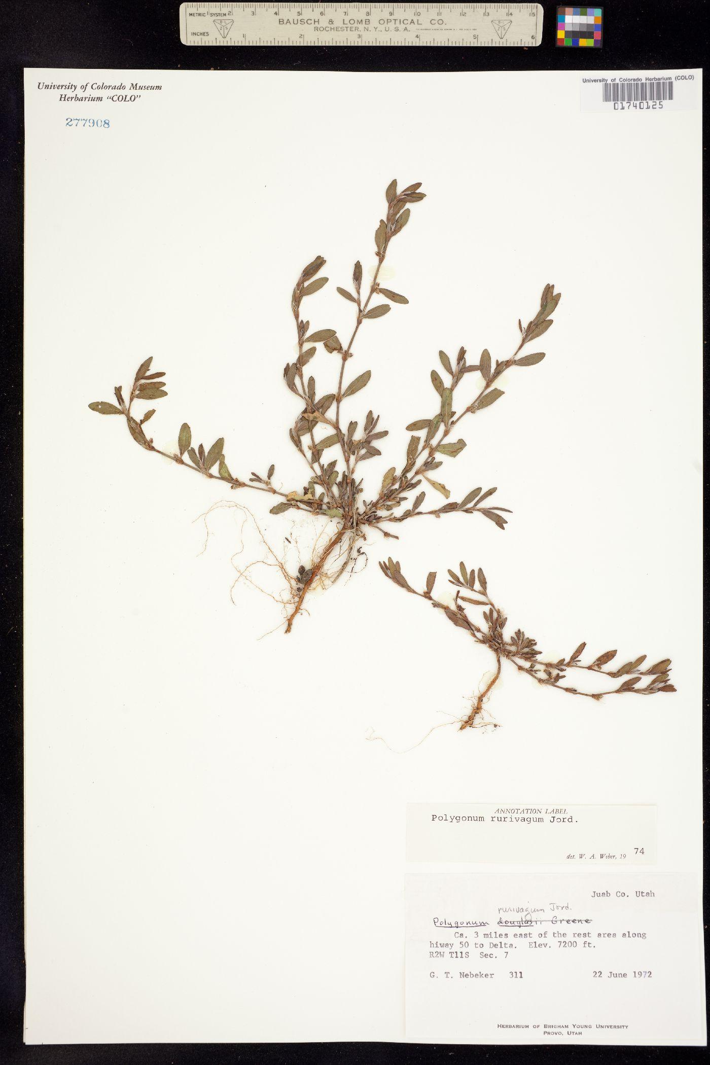 Polygonum aviculare ssp. rurivagum image