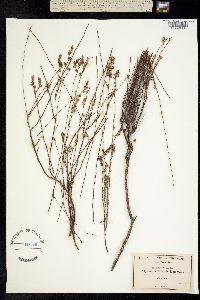 Image of Polygonum bolanderi