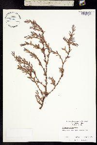 Image of Polygonum glaucum