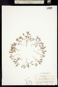 Image of Polygonum bidwelliae