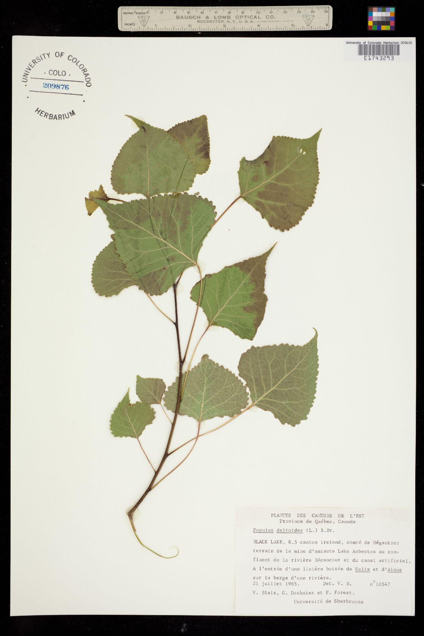 Populus deltoides ssp. deltoides image