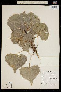 Populus deltoides subsp. monilifera image
