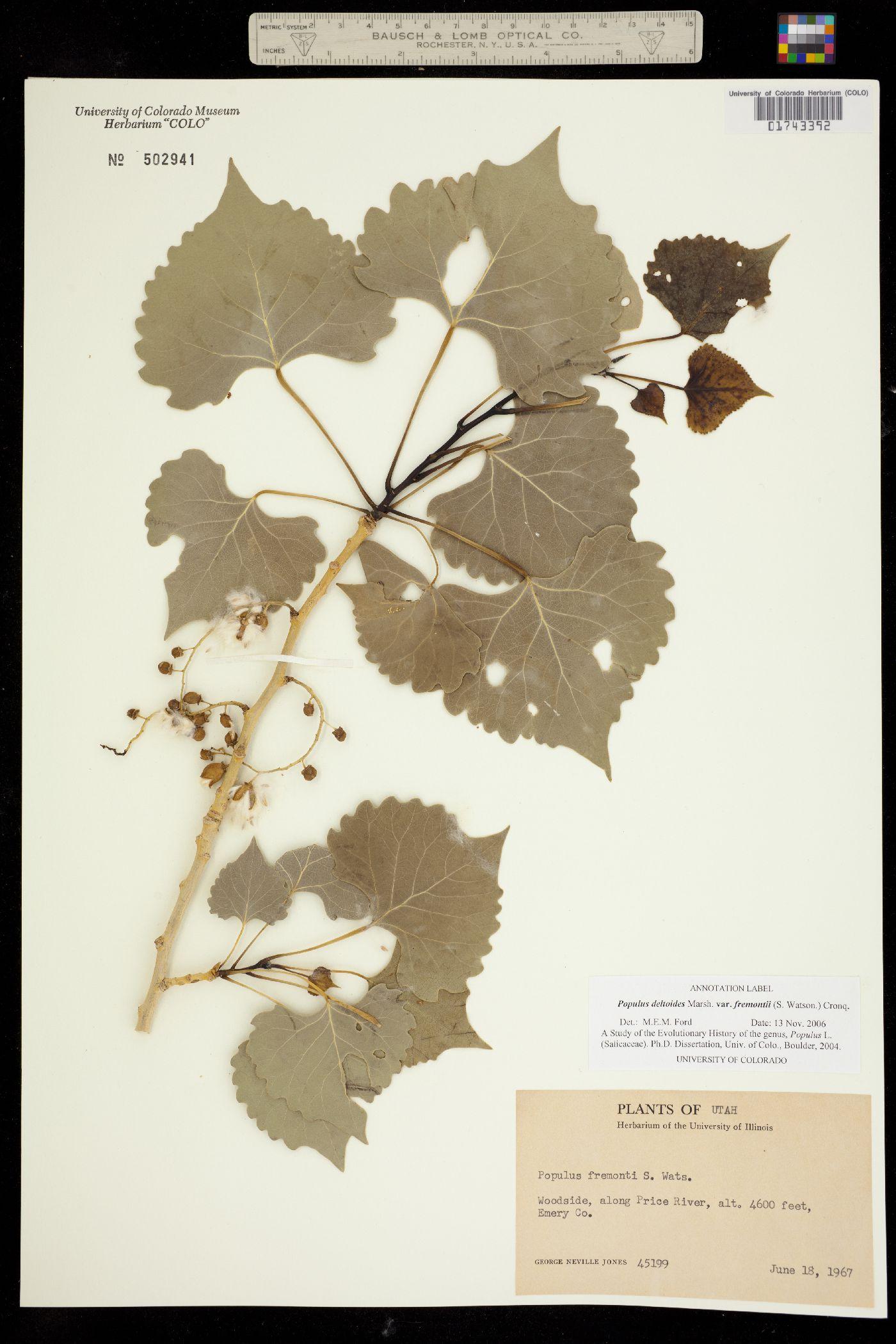 Populus deltoides ssp. fremontii image