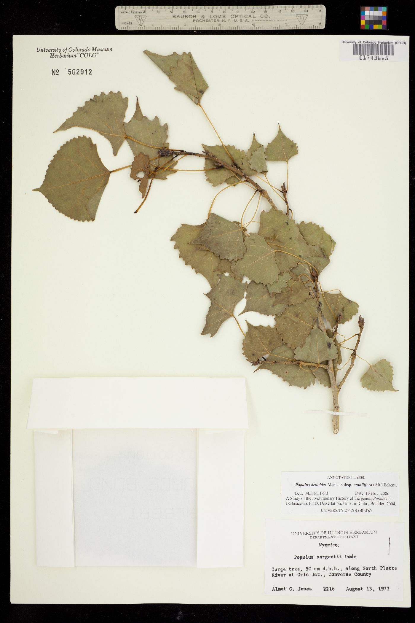 Populus deltoides ssp. monilifera image