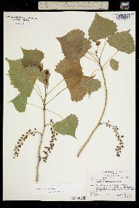 Populus deltoides ssp. wislizeni image