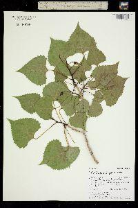 Populus deltoides ssp. occidentalis image