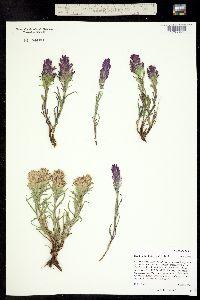 Image of Castilleja haydenii