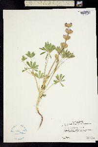 Image of Lupinus subvexus