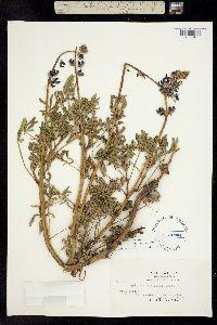 Image of Lupinus succulentus