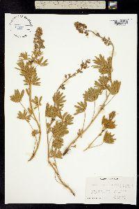 Lupinus sulphureus image