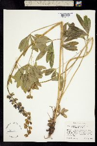 Image of Lupinus alilatissimus