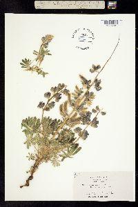 Image of Lupinus spectabilis