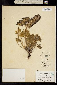 Image of Lupinus glacialis