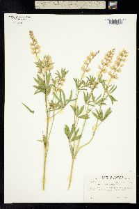 Image of Lupinus sublanatus