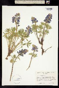 Image of Lupinus subsericeus