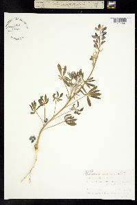 Image of Lupinus texensis