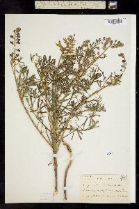 Image of Lupinus truncatus