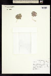 Image of Lupinus uncialis