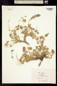 Image of Lupinus ursinus