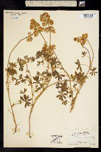 Image of Lupinus variicolor