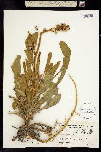 Image of Lupinus villosus