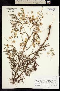 Image of Lysiloma divaricatum
