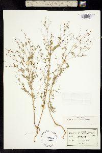 Image of Dalea diffusa