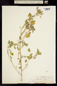 Melilotus indicus image