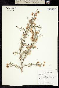 Image of Mimosa borealis