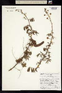 Image of Mimosa pigra