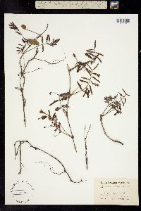 Image of Mimosa strigillosa