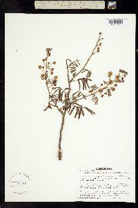 Mimosa berlandieri image