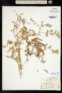 Image of Mimosa malacophylla