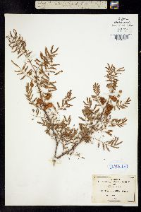 Mimosa prolifica image