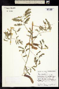 Image of Mimosa sinaloensis