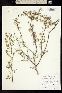 Image of Mimosa texana