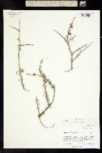 Image of Mimosa turneri