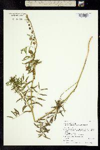 Image of Mimosa quadrivalvis
