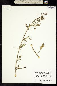 Image of Neptunia lutea