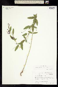 Image of Orbexilum simplex
