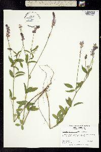 Image of Orbexilum pedunculatum