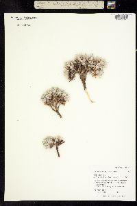 Image of Astragalus hyalinus