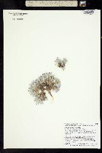 Image of Astragalus aretioides