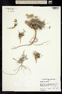 Image of Oxytropis arctica