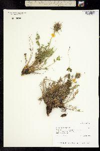 Image of Oxytropis borealis
