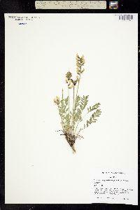 Oxytropis cusickii image