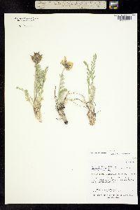 Image of Oxytropis cusickii